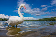 Swan on the lakeshore Royalty Free Stock Photo