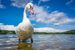 Swan on the lakeshore Royalty Free Stock Images
