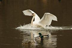 Swan landing Royalty Free Stock Images