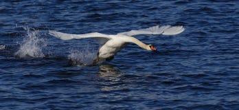 Swan_landing_1 fotografia stock libera da diritti