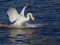 Swan_landing_4 Imagen de archivo