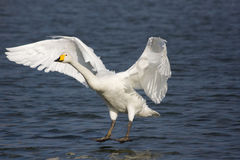 Swan landing Royalty Free Stock Photography