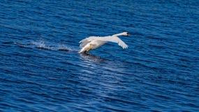 Swan Landing on Blue Water Royalty Free Stock Image