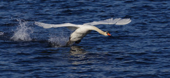 Swan_landing_1 Royalty Free Stock Photography