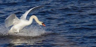 Swan_landing_3. Swan coming in for landing. Limhamn harbour in Malmoe Stock Image