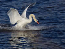 Swan_landing_4. Swan coming in for landing. Limhamn harbour in Malmoe Stock Image