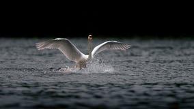 Swan Landing on Dark Lake Royalty Free Stock Images