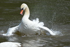 A swan on landing on the lake Royalty Free Stock Image