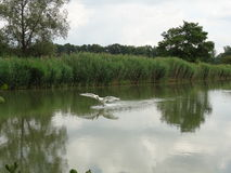 Swan landing on the pond Royalty Free Stock Photography