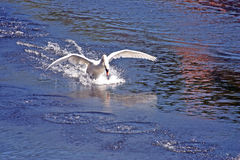 Swan landing on water. White swan landing on surface of lake stock photos