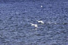 Swan landing on water Stock Photography