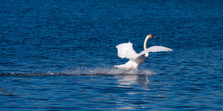 Swan Landing On Water Stock Image