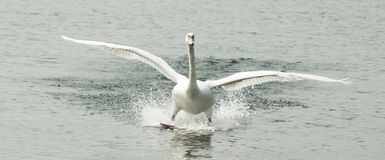 Swan landing in water Stock Photos
