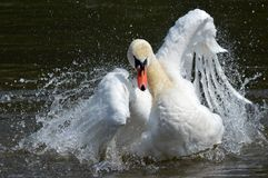 A swan lands on the water Royalty Free Stock Photos