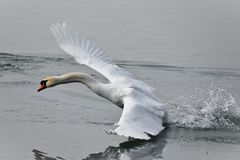 The swan. Is a large aquatic bird closely related to geese and ducks.  is known for it`s fierce temperament. he swan is found on both sides of the Equator Royalty Free Stock Photo