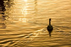 Swan on water. Swan in the late afternoon on the Shannon River, Ireland, 2016 Royalty Free Stock Image