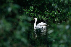 Swan Among Leaves Royalty Free Stock Photo