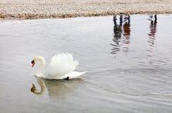 Swan at Leman Lake Geneva Lake. Mute swan swimming near the shore. Leman Lake, Switzerland, Europe Royalty Free Stock Photography