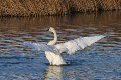 Swan Lift off. A trumpeter swan spreading it's wings, in Potter Marsh, Alaska Royalty Free Stock Photography