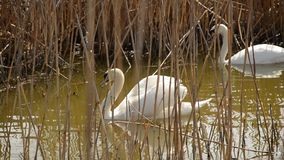Swan lifts its wings showing off in front of a female. Two swans on the pond in the middle of the dry reeds stock video