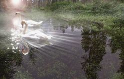 Swan Light. A dreamy rendition of two white swans swimming gracefully into reflected sunlight on a small forest stream – June 2006 Royalty Free Stock Image
