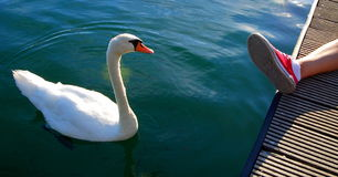 Swan like a pet Stock Images