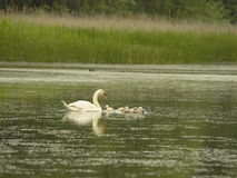 Swan with little Royalty Free Stock Photo