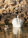 Swan with little baby swans Royalty Free Stock Photography