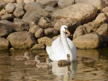 Swan with little baby swans Royalty Free Stock Image