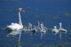 Swan with little swans. Mom swan with eight little swans in a lake Stock Photography