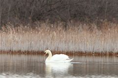 Swan. Lone swan swimming in a pond Royalty Free Stock Images