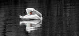 Swan. A lonely swan grooming in the water Royalty Free Stock Images