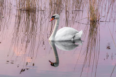 Swan. The lonely swan in the lake Royalty Free Stock Photos