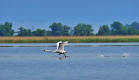 Swan ready to take flight in natural reserve of the Danube Delta. Danube River - landmark attraction in Romania stock photo