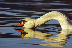 Swan with long neck Royalty Free Stock Images