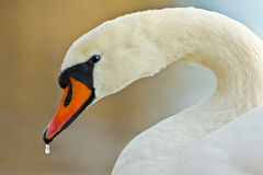 Swan look Stock Images