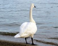 Swan looking out over lake Stock Photography