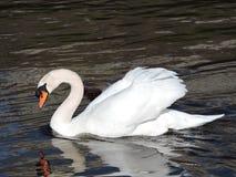 Swan looking at reflection. Stock Image
