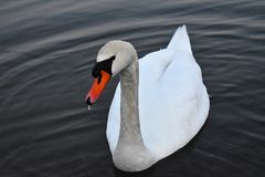 The swan looks at a distance. The swan slowly swam to the shore, his eyes are lost somewhere in the distance, while the water drops down the beak Royalty Free Stock Image
