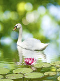 Swan and lotus flower on the water Stock Images