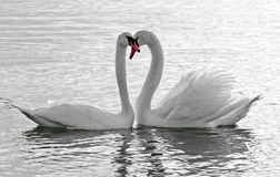 Swan Love. Mirror image of a swan to creat the heart shape Royalty Free Stock Photography