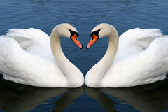 Swan in love. Two swan in love forming Stock Images