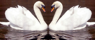 Swan love. Swan image indicating love Royalty Free Stock Photos