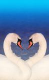 Swan love Stock Images