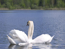 Swan love Stock Photos