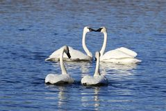 Swan Love Royalty Free Stock Photo