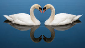 Swan Love heart Stock Photo