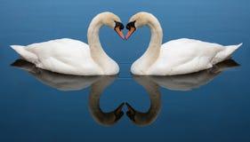 Swan Love heart Stock Photo
