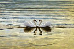 Swan Love. Love Swans - Swans Making A Heart Stock Image