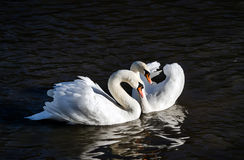 Swan love Royalty Free Stock Photos